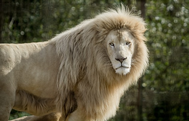 V Zoo Dvorec chovají pár bílých lvů.