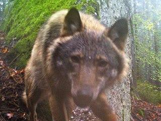 Fotopast Hnutí Duha zachytila vlka v jižní části Šumavy.