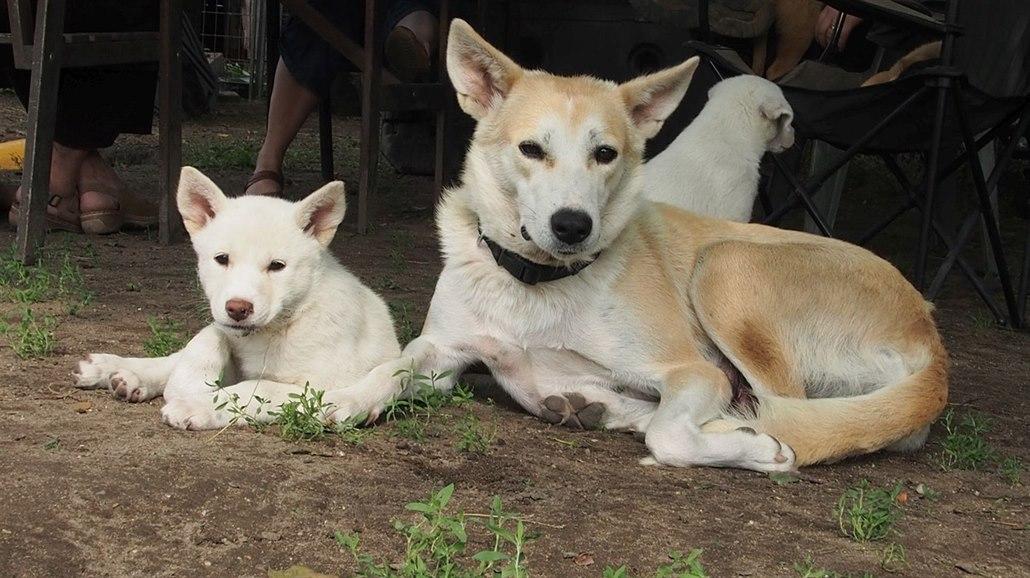 2faff611b2f Dospělá fena kanaánského psa se svým potomkem