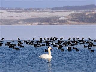 Ptáci na Jezeře Most.