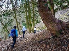 Stezka vede strmým svahem a prochází kolem mohutných tisů.