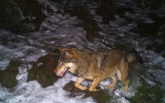 Vlk z fotopasti od Horního Adršpachu na Broumovsku z března 2017