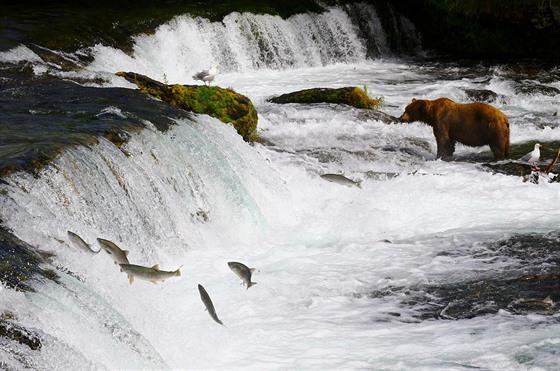 Lososi vyskakují z vody u vodopádů Brooks