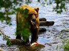 Medvěd s uloveným lososem