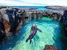 Lachtan ve vodě na ostrově Santiago