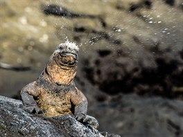 Mořský leguán - galapážský endemit, vejcorodý ještěr dlouhý až jeden metr....