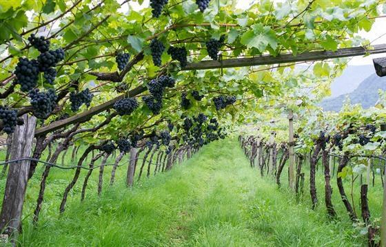 Co slaví vinaři
