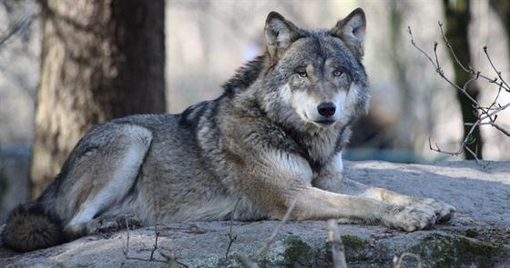 Myslivci chtějí regulovat vlky. Pomohou s přemnoženou zvěří ... 4a779a4504