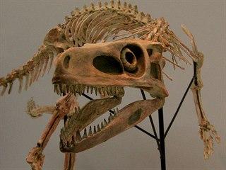 Rekonstruovaná kostra staurikosaura, menšího dravého dinosaura, jehož fosilie...