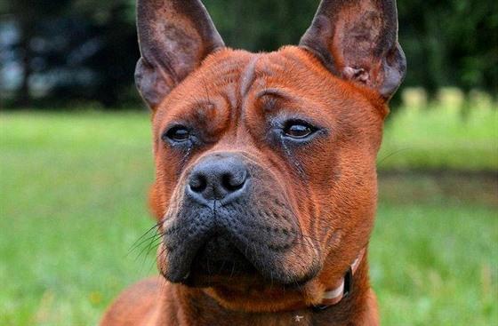 d0d6619eca9 Chinese chongqing dog je extravagantní pes s netradičním vzhledem ...