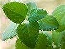 Rýmovník neboli molice, kterou botanici znají pod latinským názvem...