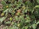 Tribulus terrestris neboli kotvičník lze také pěstovat v samozavlažovacím...