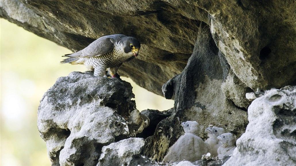 Ze stejných důvodů velcí ptáci více plachtí než mávají křídly.