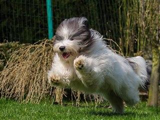 Toto plemeno se skvěle hodí na všemožné psí sporty.