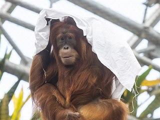 Obdivovatelé pražských orangutanů dobře vědí, že prostěradla jsou jejich...