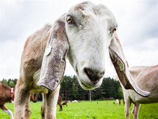 Jan Bareš chová v Okrouhlé Radouni 80 anglonubijských koz.