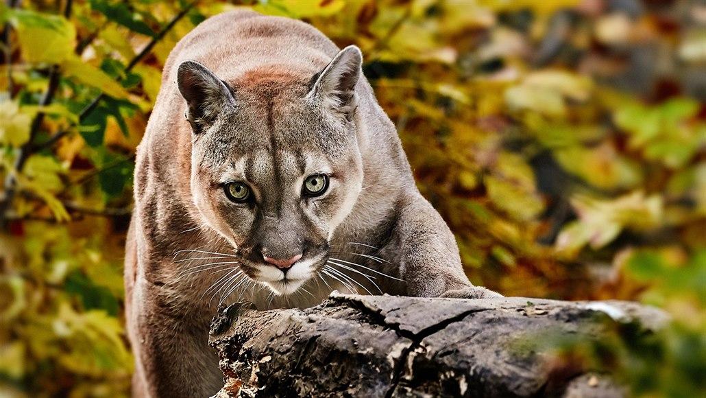 Cougar mladší muž