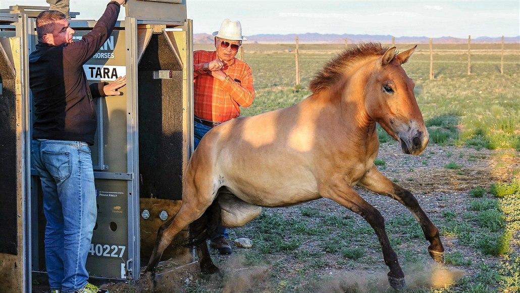 Tři klisny koně Převalského už vypustili v Mongolsku, převoz byl úspěšný