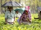 Indie, sběračky čajových lístků