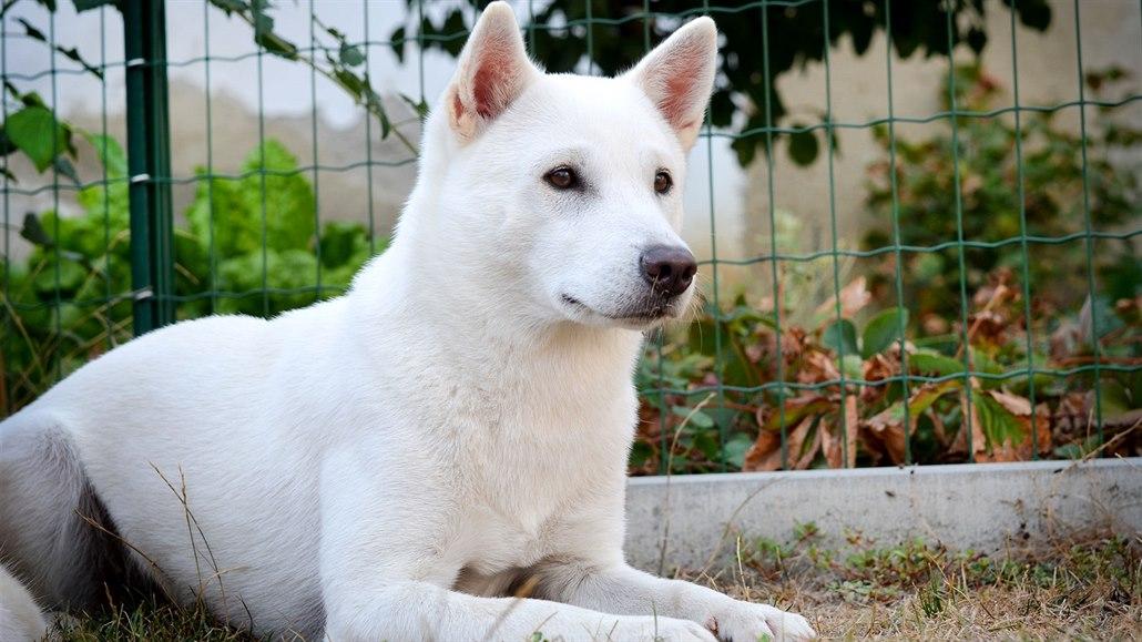 Japonský národní klenot kishu. Stal se hrdinou seriálu Goro, bílý pes