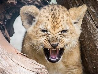 Osmitýdenní koťata lvů berberských zkoumají výběh (9. 7. 2019).