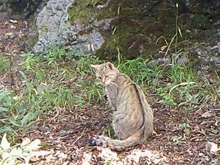 Odborníci zjistili v Doupovských horách už druhý výskyt kočky divoké.