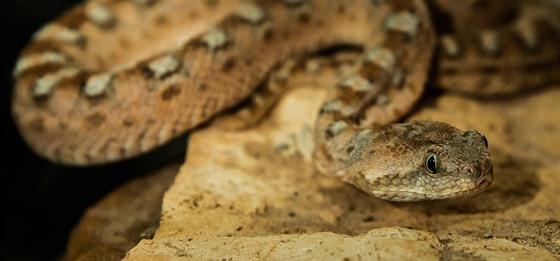 Antonín Hnízdil v Bioparku Štít chová i hady. Tato zmije pestrá ho uštkla.