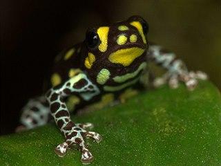 Jedinci rodu Ranitomeya patří mezi nejmenší žáby na světě.
