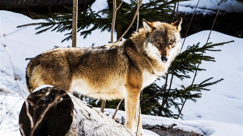 Člověk člověku vlkem by dnes mělo mít opačný význam, říká odborník
