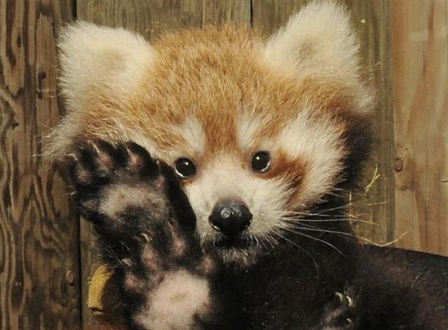 V jihlavské zoo se narodily malé pandy, mláďata prozradil jejich pískot