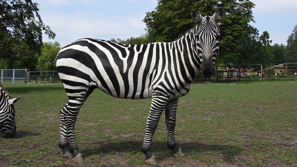 KVÍZ: Co víte o zebrách, které oslavily svůj den?