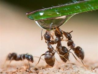 Mravenci jsou týmoví hráči. Dobře vědí, že se potřebují navzájem. A že...