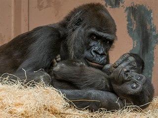 Gorilí sameček Ajabu se svou matkou Shindou