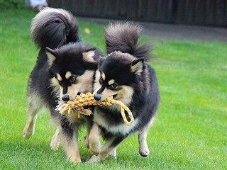 Lapinkoiry milují společnost dalšího psa, se kterým mohou dovádět.