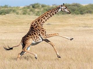 Žirafy jsou známé tím, že se přesnými kopy úspěšně dokážou bránit před...