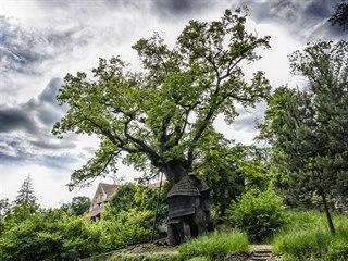 Autentická lípa z obrazů Alfonze Muchy, nádherná borovice douglaska vysazená...