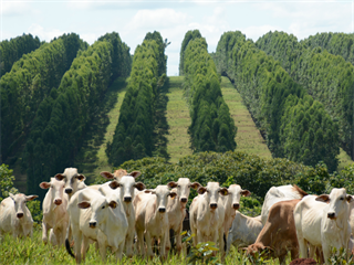 Silvipastoril, volné pastvy v Brazílii s řadami eukalyptových stromů.