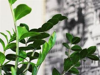 Zamiokulkas, krasavec původem ze Zanzibaru, si se stínem i minimální zálivkou...