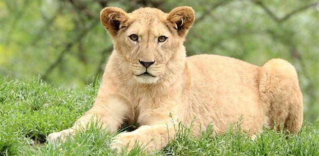 V plzeňské zoo utratili mladou lví samici, měla vrozenou vadu lebky