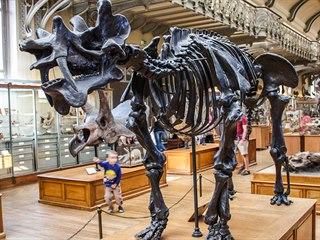 Replika kostry uintatéria, vystavená v pařížském Národním přírodovědném muzeu....