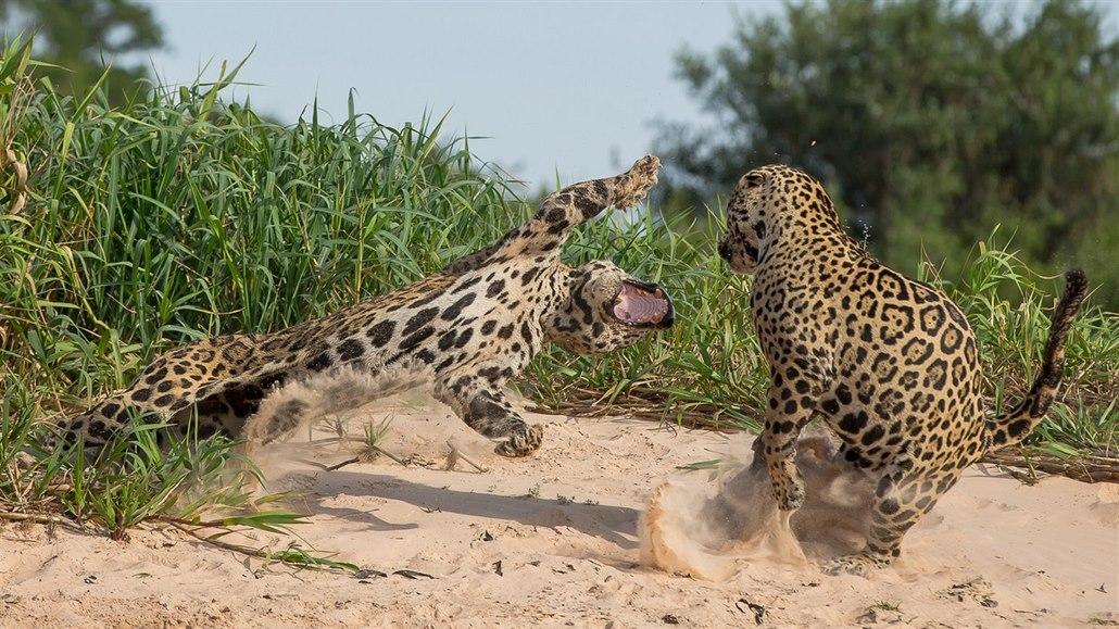 Děsivé tesáky a boj na život a na smrt. Takto se jaguáři perou o teritorium