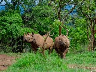 Nosorožci černí ze Dvora Králové ve rwandské přírodě.