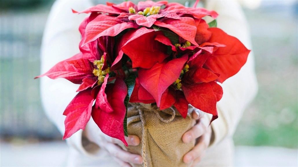 Vánoční hvězdu nekupujte na trhu, pokud má přežít Vánoce a Nový rok