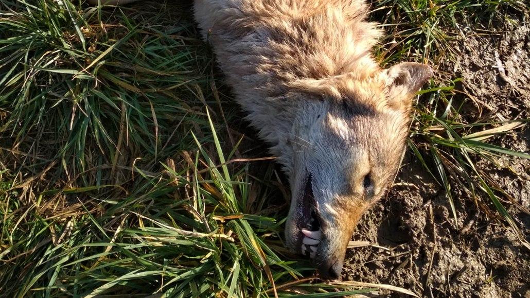 Auto srazilo v Českém ráji vlčici, ochranáři hledají dobrovolníky do hlídek
