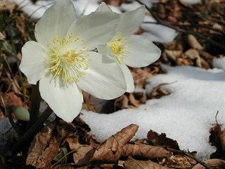 Květy čemeřice k zimě patří stejně jako sníh. Ten snad ještě přijde, každá...