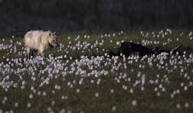 Ze zmrzlé půdy obilná pole. Změna klimatu posouvá zemědělství na sever