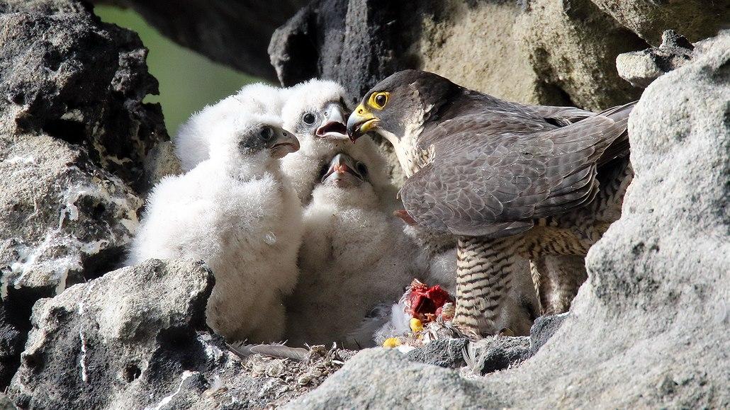 Část Českého Švýcarska se kvůli hnízdění ptáků zavřela, loni je lidé rušili