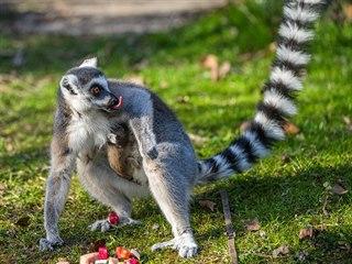 Jako každoročně probíhá jaro v pražské zoo ve znamení mláďat, což je v současné...