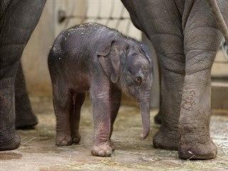 Dlouho očekávané slůně se slonici Tamaře narodilo dnes po třetí hodině ráno....