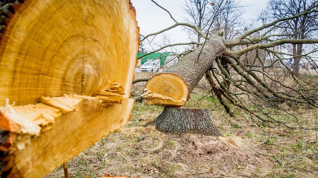 Vzrostlé duby u Hrdějovic někdo pokácel bez povolení